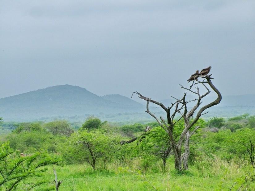 yellow-billed kites, hluhluwe-imfolozi, south africa