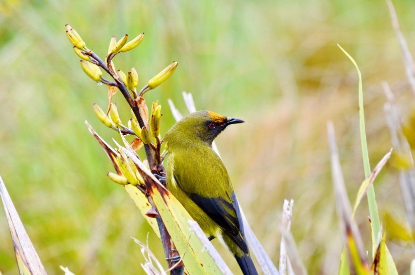 a new zealand bellbird, lake matheson, south island, new zealand