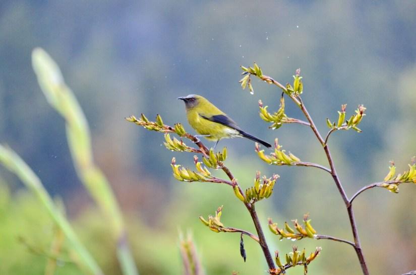 a new zealand bellbird on flax, lake matheson, south island, new zealand