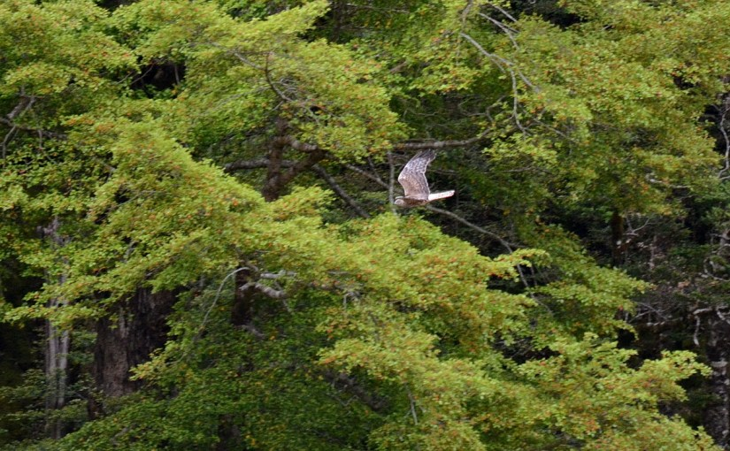swamp harrier, eglinton river valley, fiordland national park, new zealand