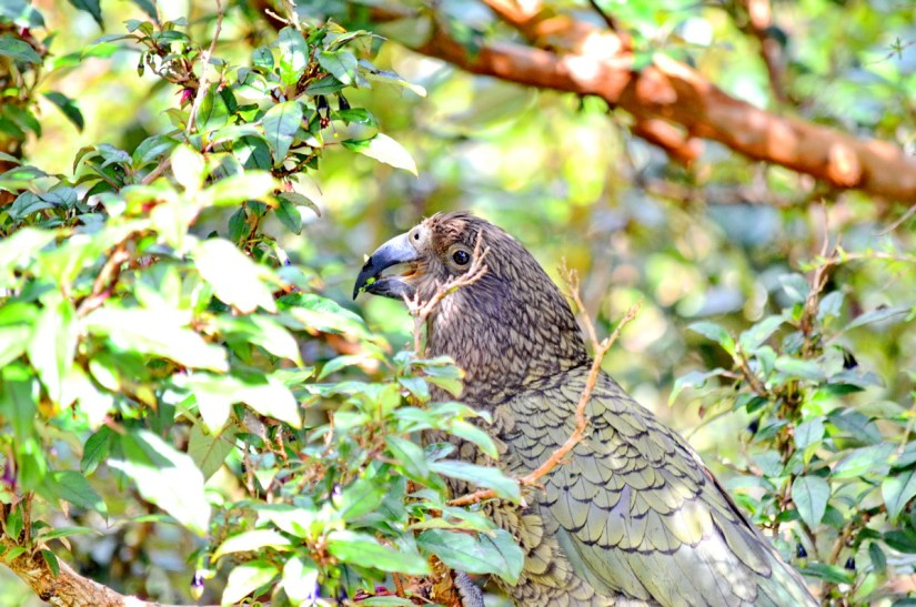 a kea parrot eating flowers, fiordland national park, south island, new zealand