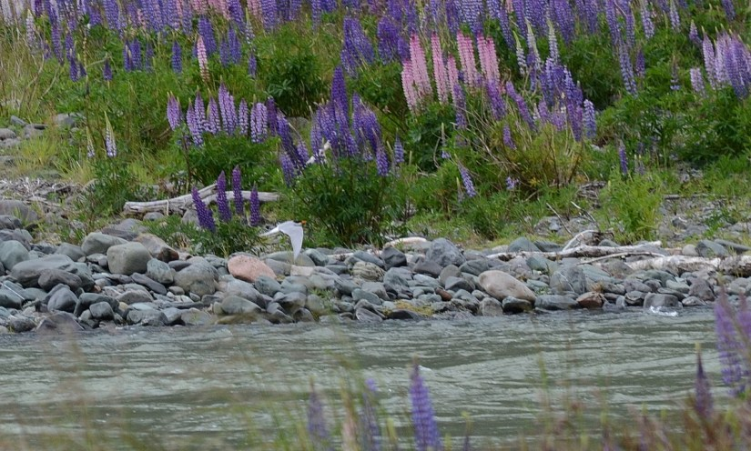 a black-fronted tern and russell lupins, eglinton river valley, fiordland national park, new zealand