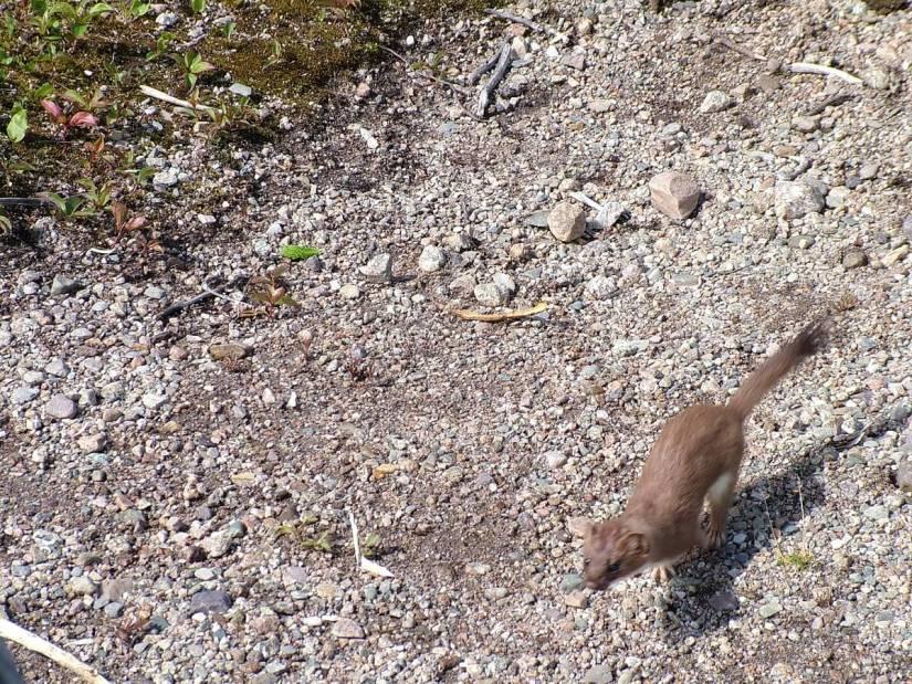 a short-tailed weasel, gros morne mountain trail, newfoundland, canada