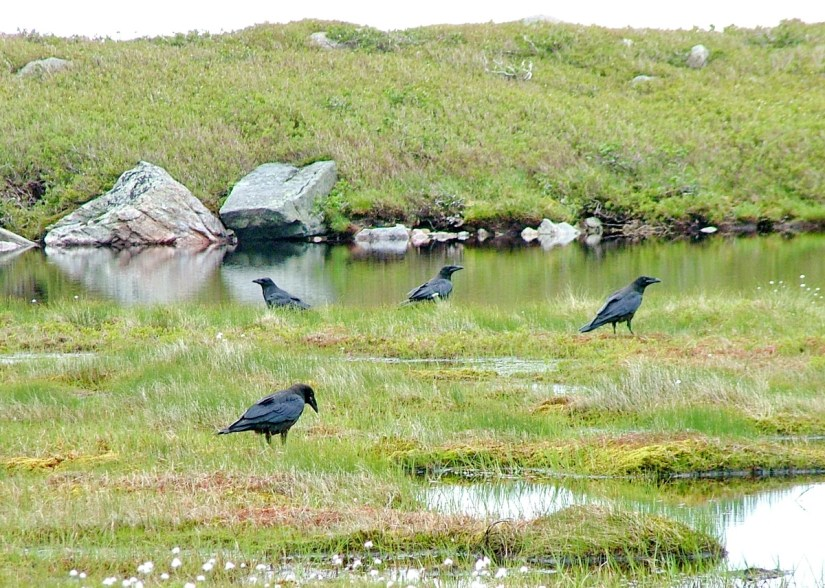 american crows at the base ponds, gros morne mountain, newfoundland, canada
