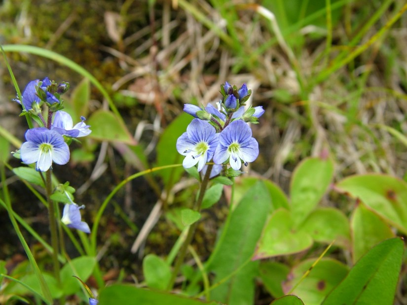 thyme-leaved speedwell wildflowers, gros morne mountain, newfoundland, canada