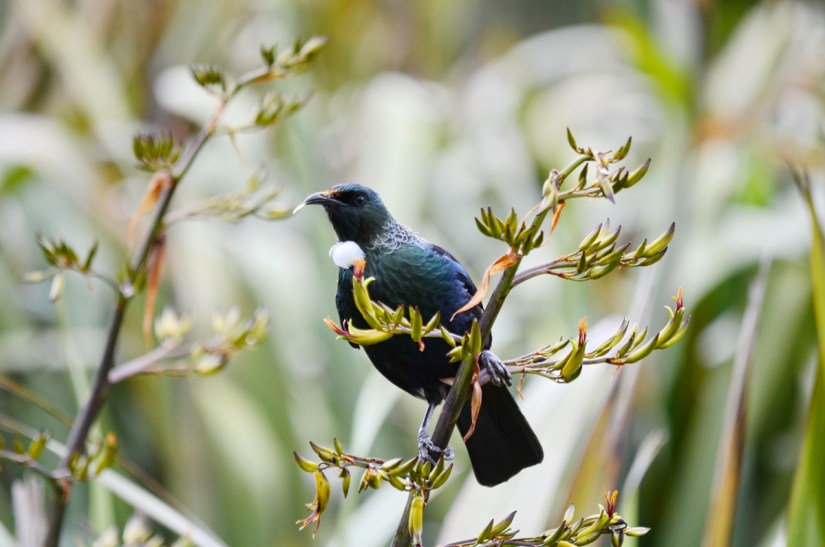 a tui on native flax plant, lake matheson, south island, new zealand