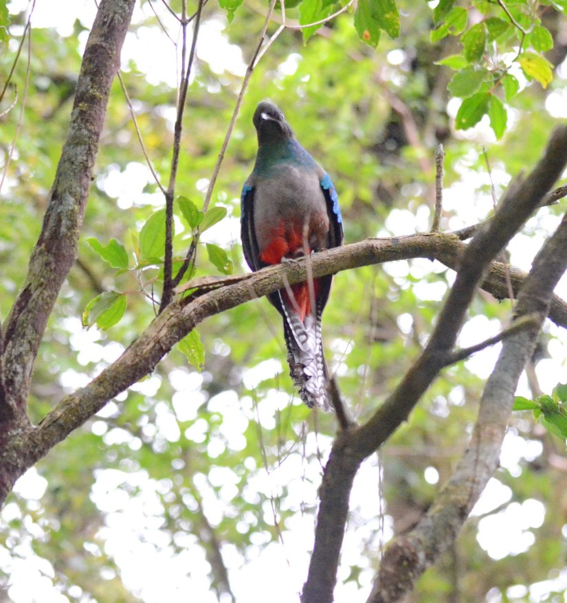 a female resplendent quetzal, monteverde cloud forest preserve, costa rica