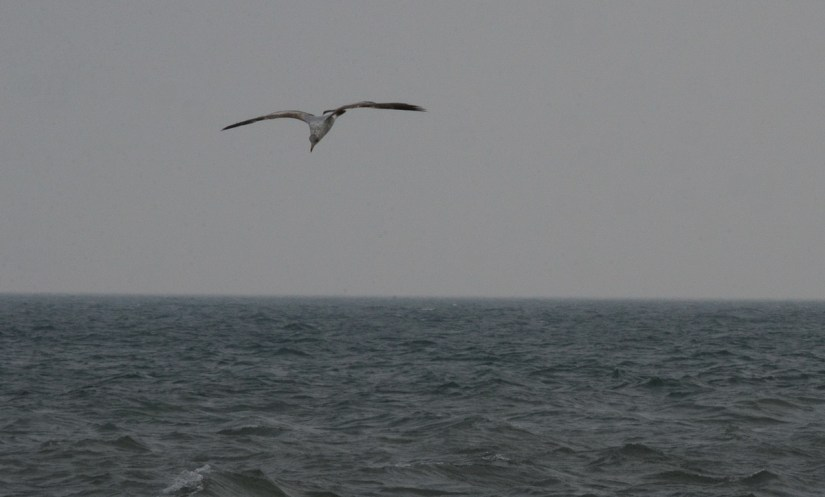 herring gull over lake erie, ontario