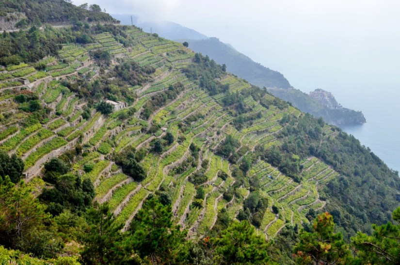 terraced vineyards near volastra, cinque terre, italy