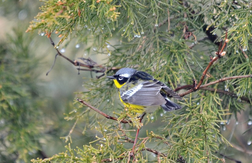 a magnolia warbler, the tip of long point, lake erie, ontario
