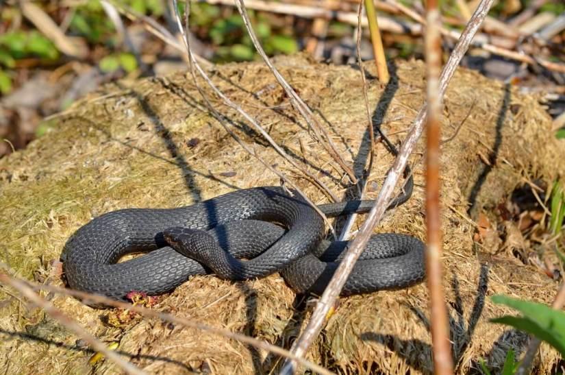 melanistic eastern garter snake, crown marsh, long point, ontario