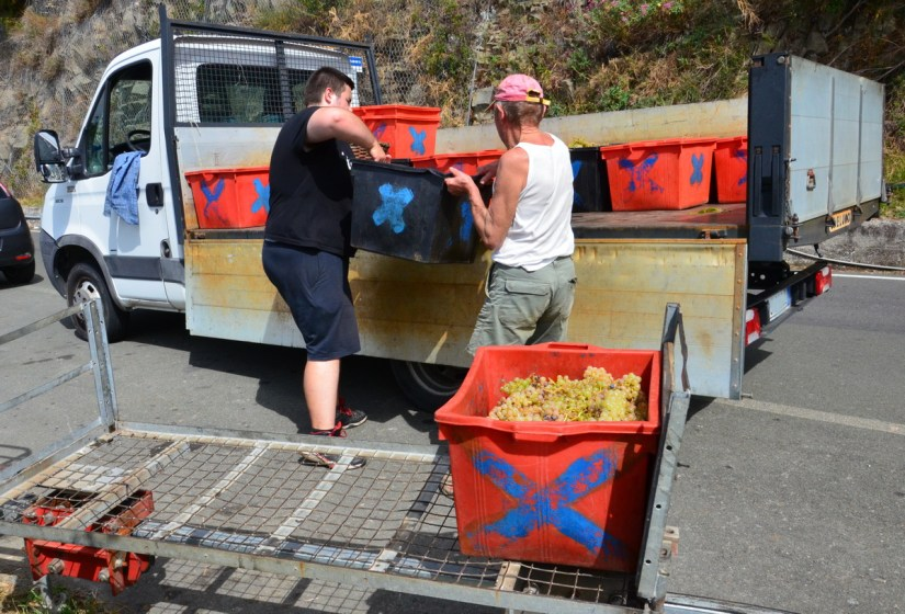 vineyard workers loading grapes onto a truck, cinque terre, italy