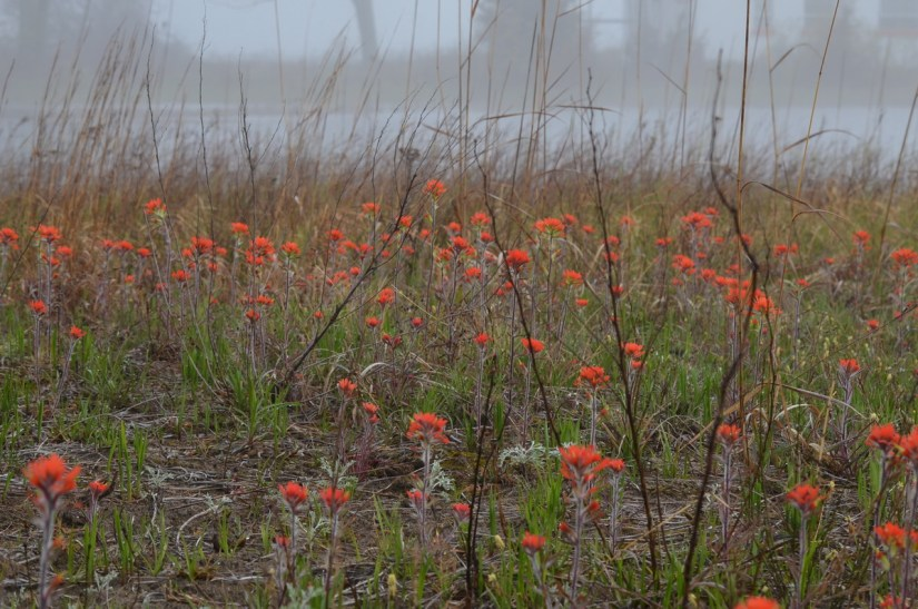 wild indian paintbrush flowers, the tip of long point, lake erie, ontario