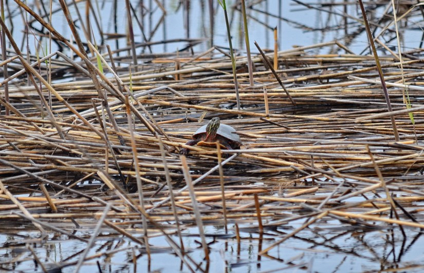 a midland painted turtle, the tip of long point, lake erie, ontario