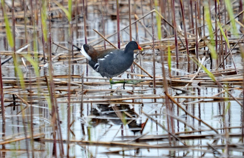 a common gallinule, the tip of long point, lake erie, ontario