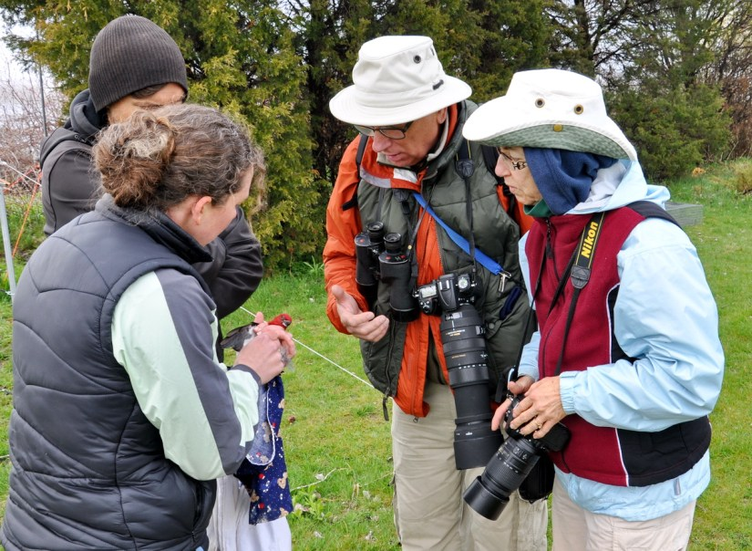 bob and jean look at a red-headed woodpecker to be banded, long point bird observatory, lake erie, ontario