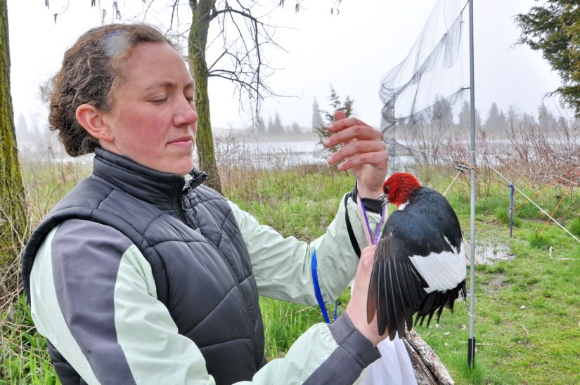 a red-headed woodpecker to be banded, long point bird observatory, lake erie, ontario