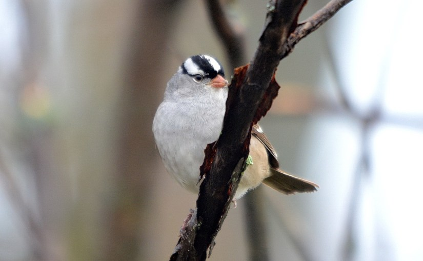 a white-crowned sparrow, the tip of long point, lake erie, ontario