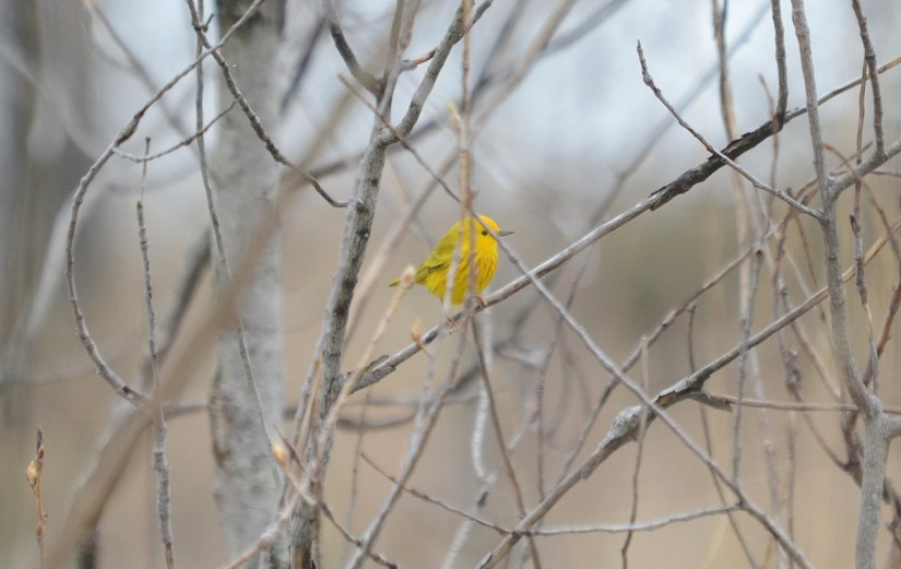 a yellow warbler, the tip of long point, lake erie, ontario