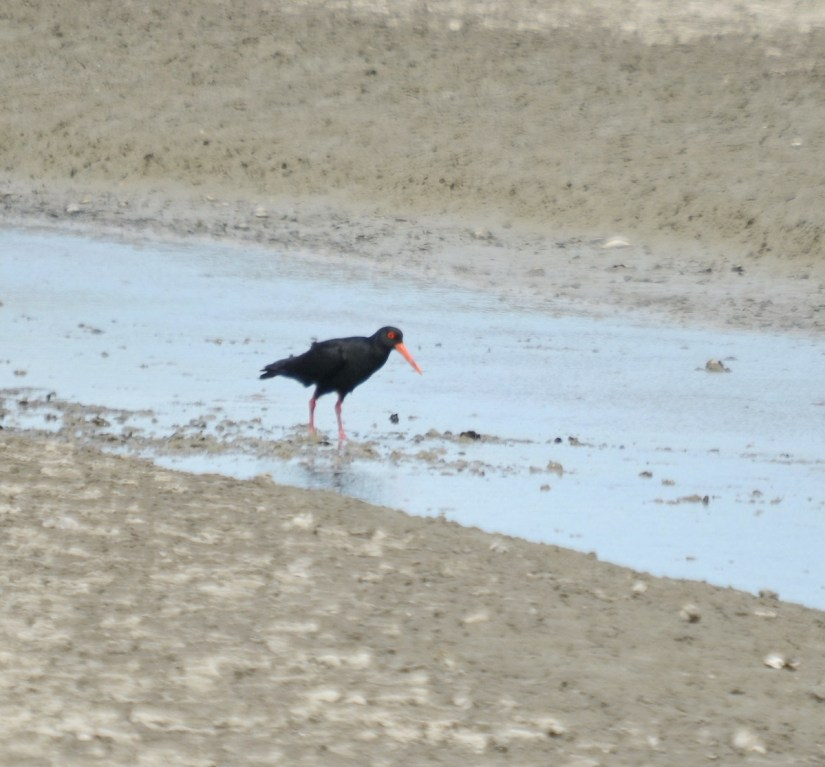 a variable oystercatcher, Pukorokoro Miranda Shorebird Centre, north island, new zealand