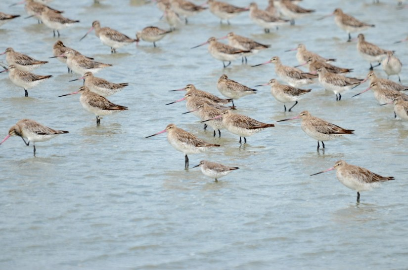 bar-tailed godwits and a red knot, Pukorokoro Miranda Shorebird Centre, north island, new zealand