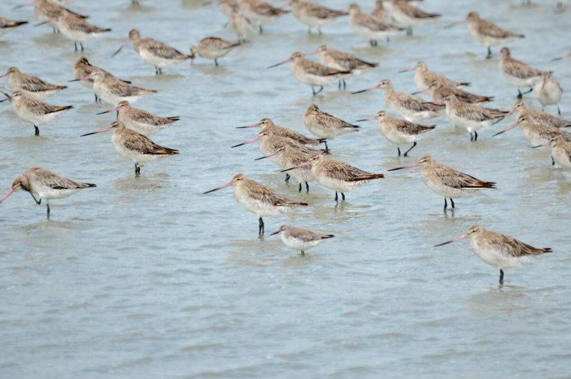 bar-tailed godwits and a red knot, Pukorokoro Miranda Shorebird Centre, north island, new zealand