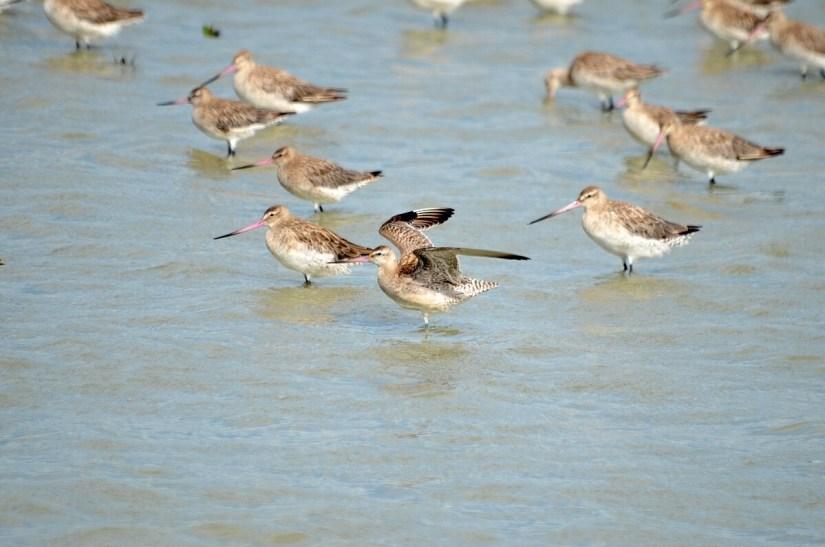 bar-tailed godwits, Pukorokoro Miranda Shorebird Centre, north island, new zealand