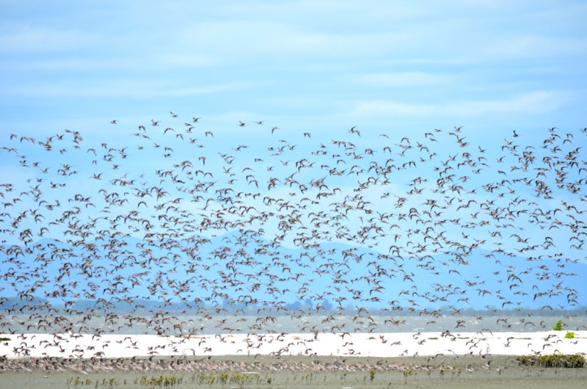 bar-tailed godwits, Pukorokoro Miranda Shorebird Centre, north island, new zealand
