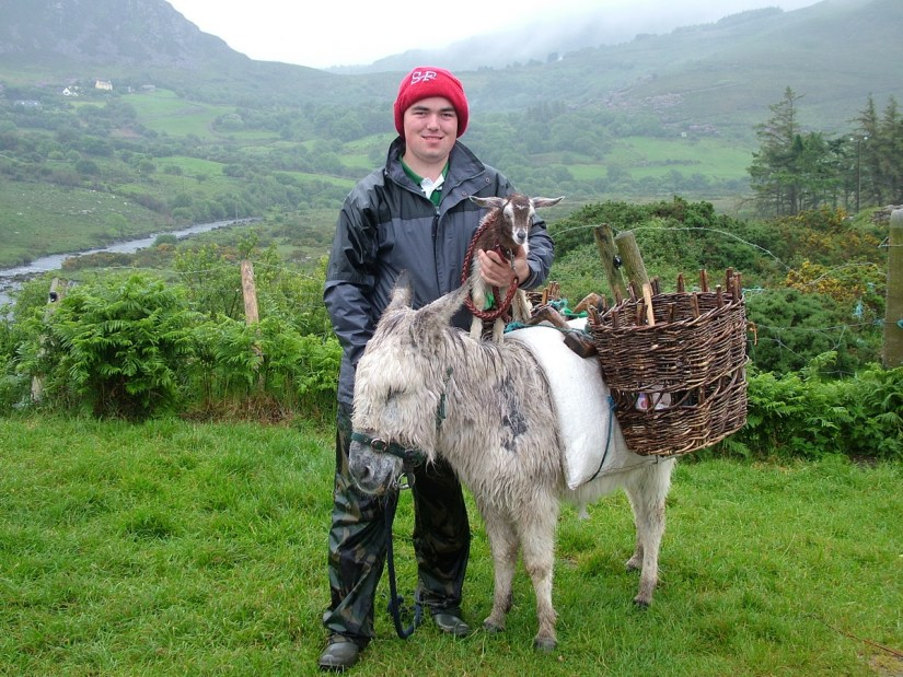 a goatherd with goat and donkey, killorglin, ring of kerry, ireland