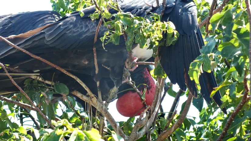 a male magnificent frigatebird with inflated gular sac, isla isabel, mexico
