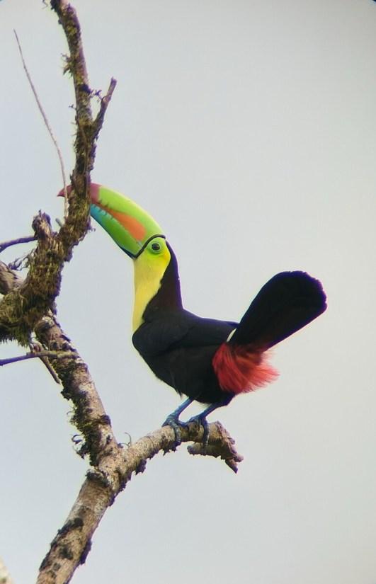 a keel-billed toucan, mistico arenal hanging bridges park, la fortuna, costa rica