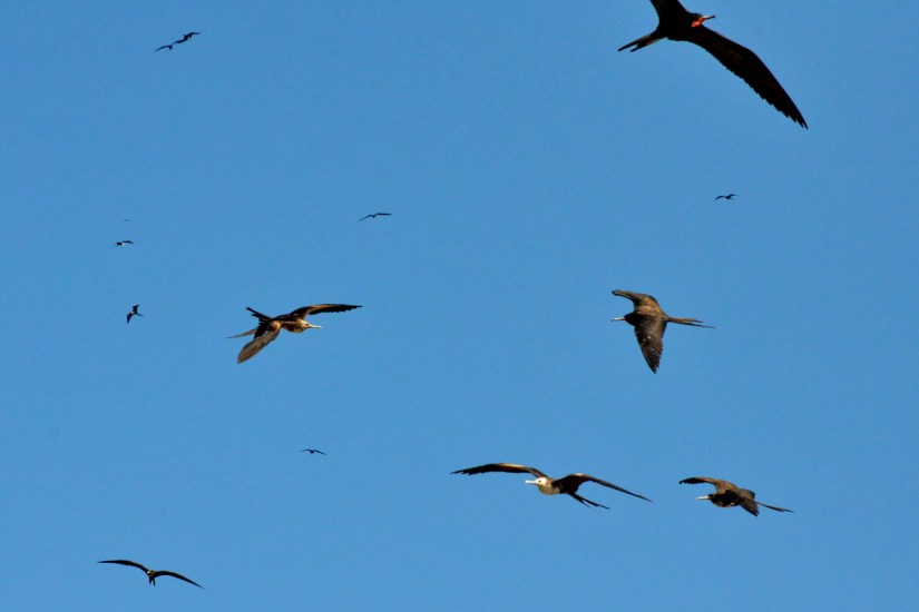 magnificent frigatebirds soaring, isla isabel, mexico