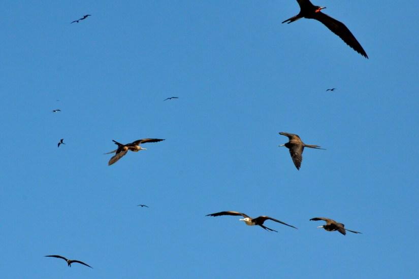 magnificent frigatebirds soaring, isla isabel, mexico