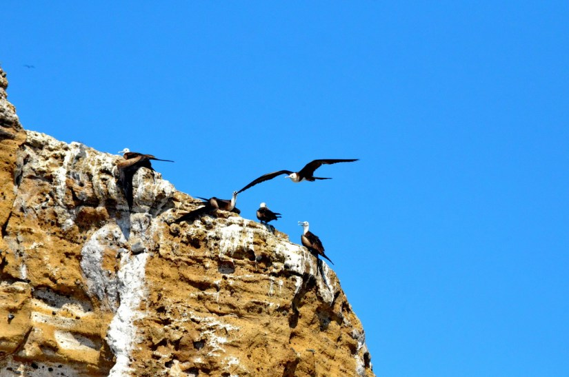 magnificent frigatebirds on a cliff, isla isabel, mexico