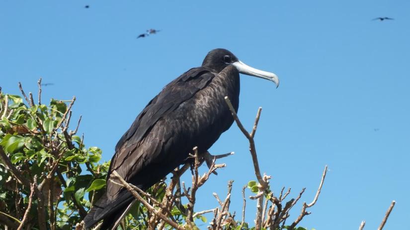 a magnificent frigatebird, isla isabel, mexico