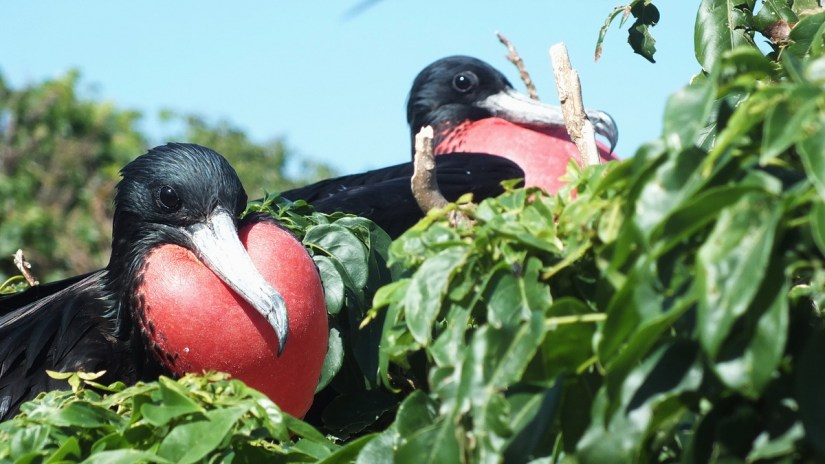 male magnificent frigatebirds with inflated gular sacs, isla isabel, mexico
