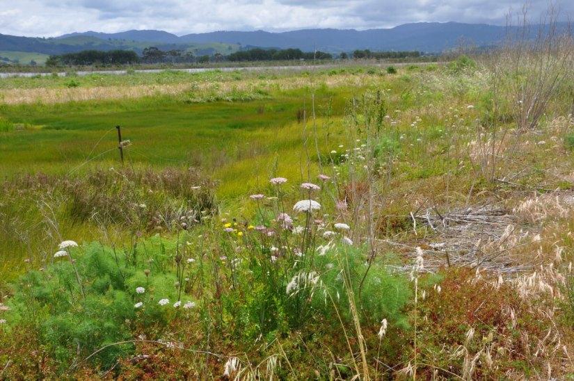 wildflowers in the saltmarsh, Pukorokoro Miranda Shorebird Centre, north island, new zealand