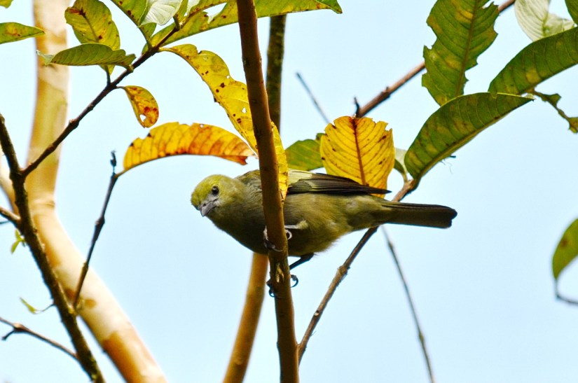 a palm tanager, kokoro lodge, la fortuna, costa rica