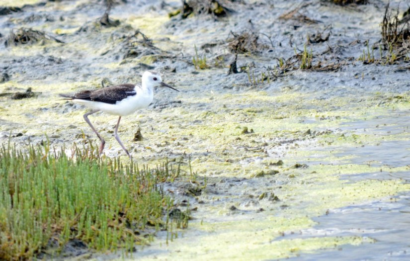 a juvenile pied stilt in the saltmarsh, Pukorokoro Miranda Shorebird Centre, north island, new zealand