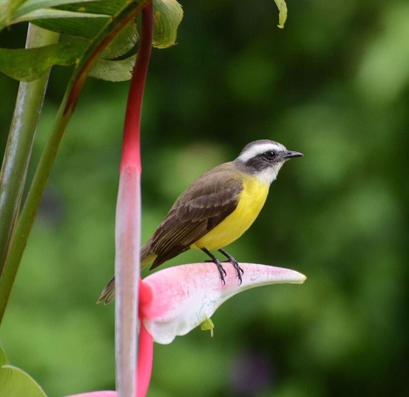 a social flycatcher, mistico arenal hanging bridges park, la fortuna, costa rica