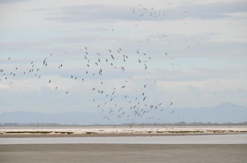 variable oystercatchers in flight over a shell bar, Pukorokoro Miranda Shorebird Centre, north island, new zealand
