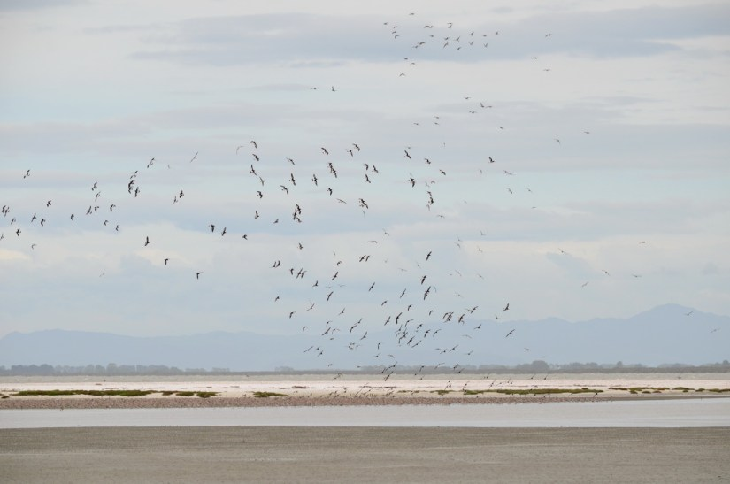 variable oystercatchers in flight over a shell bar, Pukorokoro Miranda Shorebird Centre, north island, new zealand