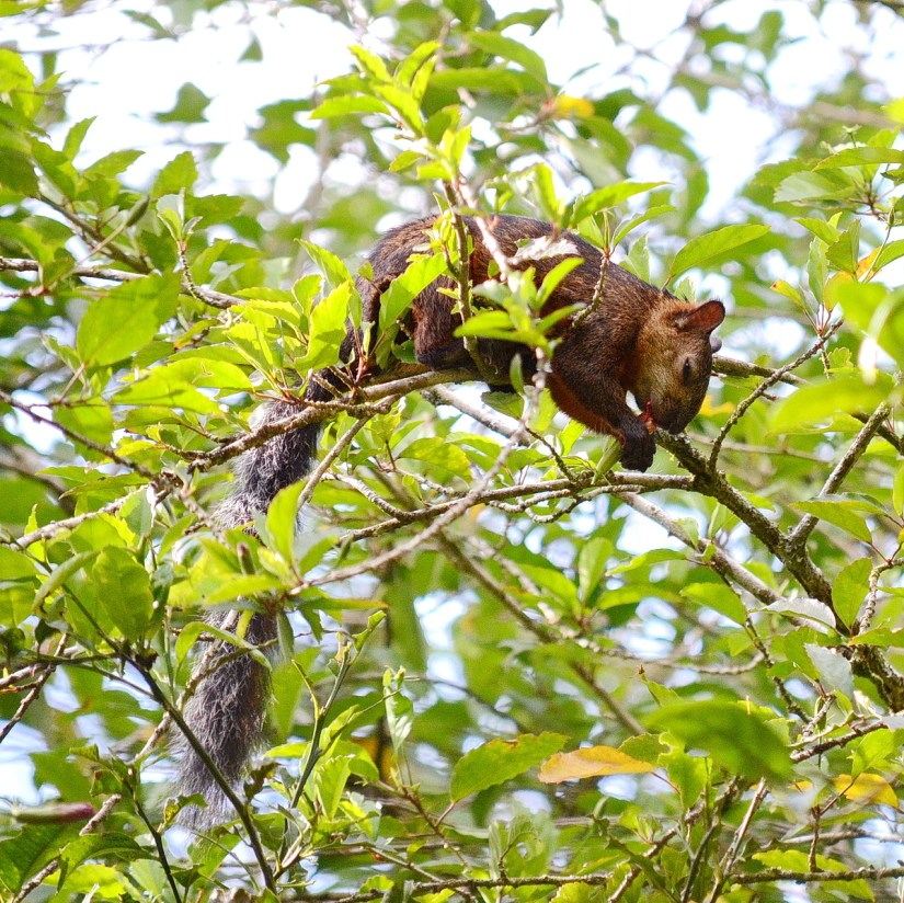 variegated squirrel, kokoro lodge, la fortuna, costa rica