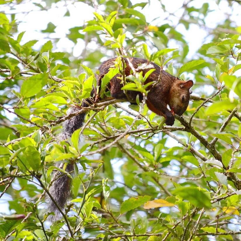variegated squirrel, kokoro lodge, la fortuna, costa rica