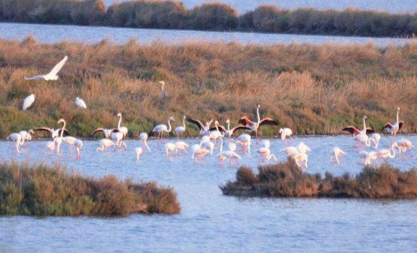greater flamingos, Parco Regionale Veneto del Delta del Po (The Regional Park of the Po River Delta), italy