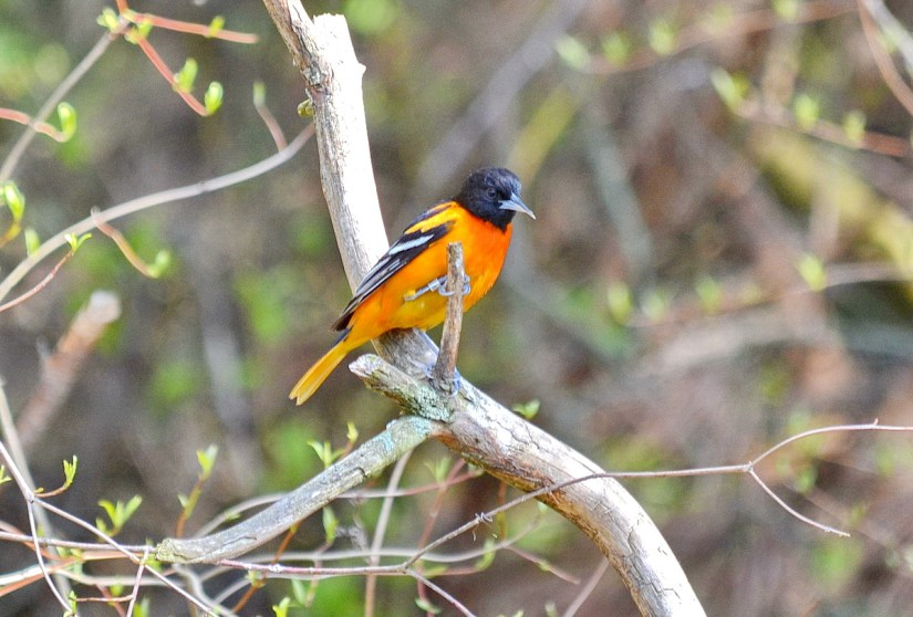 a baltimore oriole, male, the old cut, long point, ontario