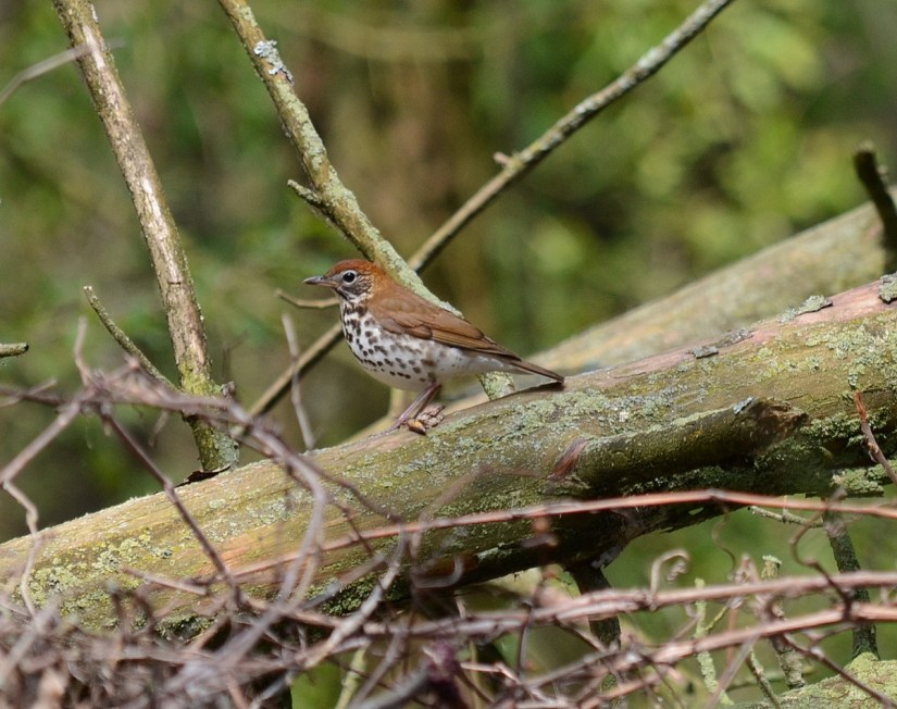 a wood thrush, the old cut, long point, ontario