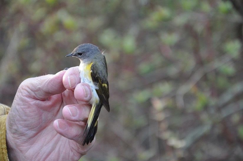 an american redstart female, the old cut, long point, ontario