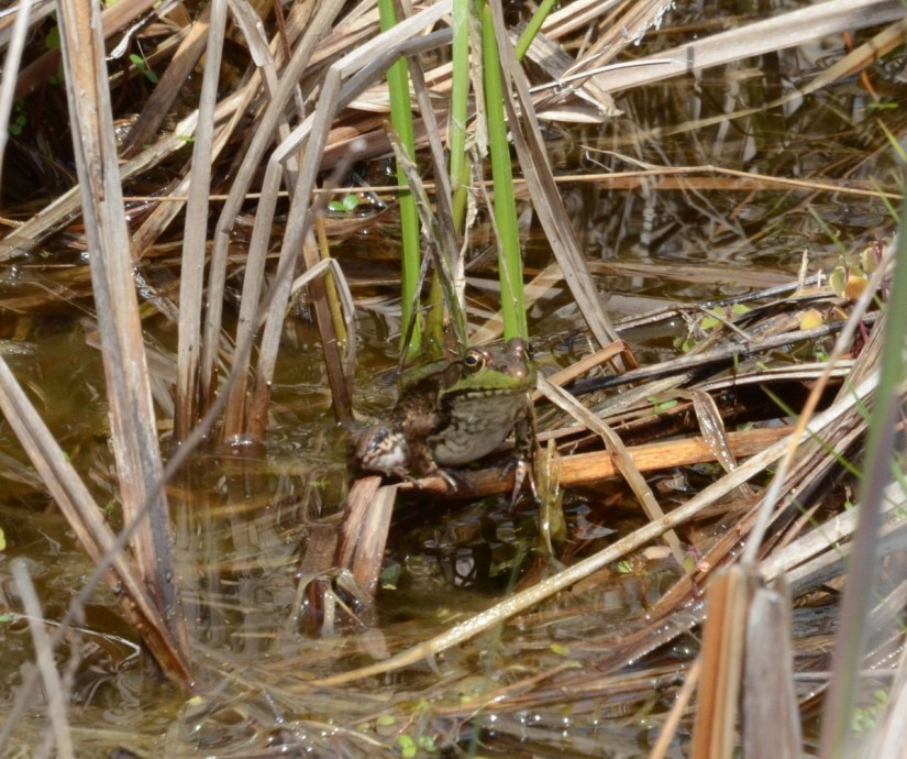 a green frog, big creek national wildlife area, long point, ontario