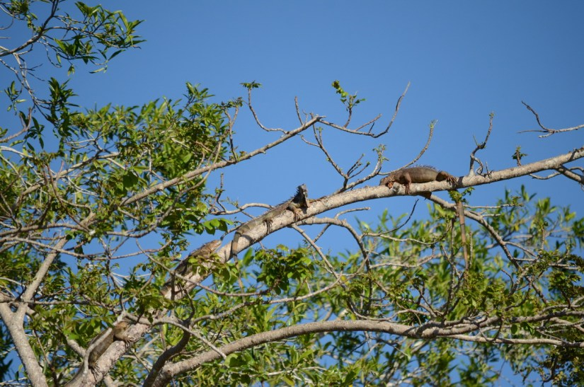 green iguanas in a tree, cano negro wildlife refuge, costa rica